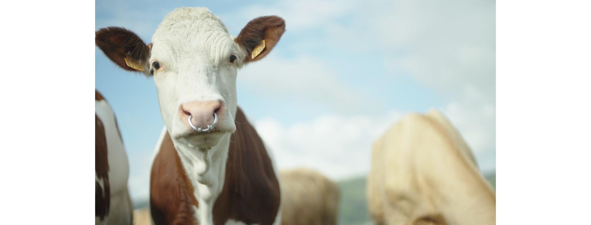 Lait, fromage et produits laitiers à base de lait de vache